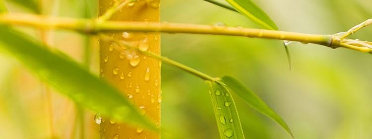 depurazione bambu