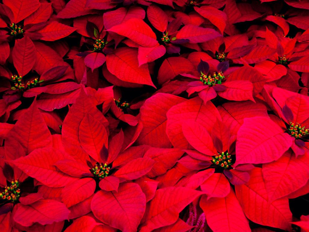Stelle Di Natale Da Costruire stelle di natale: tutta una questione di luce e acqua